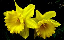 beautiful daffodils flowers high resolution wallpaper