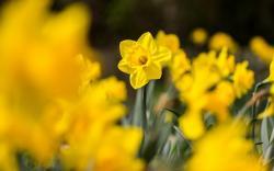 Daffodils Yellow Flowers Macro
