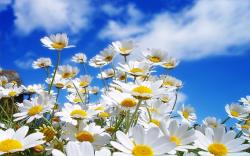 ... 1366x768 wallpaper Daisies 1280x800 wallpaper