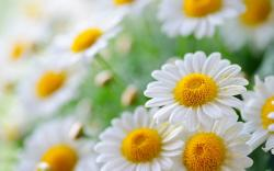 white daisies wide high resolution wallpaper White Daisies HD Wallpapers