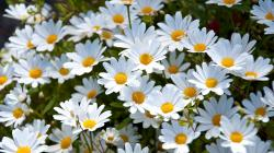 2560x1440 Wallpaper daisies, white, meadow, summer, mood