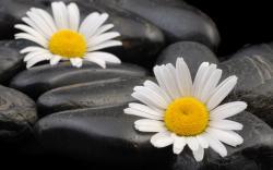 Daisies Blackstone