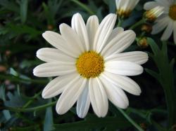 White Daisies Flower