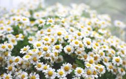 Daisies Flowers Morning HD Wallpaper is a awesome hd photography. Free to upload, share the high definition photos. Daisies Flowers Morning HD Wallpaper is ...