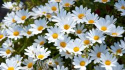 daisies, white, meadow ...