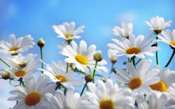 Daisies Wallpapers Daisies Wallpapers Daisies hd Wallpapers Daisies hd Wallpapers ...
