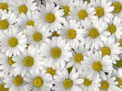 static ws white daisies high definition wallpaper White Daisies HD Wallpapers