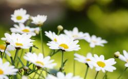 Daisy Wallpaper Galleryhipcom The Hippest Galleries 2560x1600px