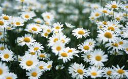 Colors White Daisy Wallpaper