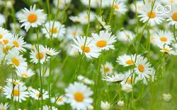 Daisy Flower 15 Desktop Background