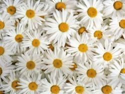 Daisy Flower Wallpaper Ahd Images Xpx 1600x1200px