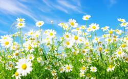 Colors White Daisy Wallpaper