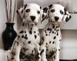 newborn dalmatian puppies