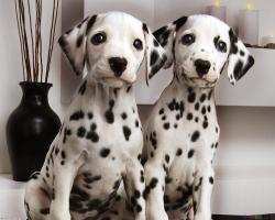 Couple Cute Dalmatian Puppies Pictures