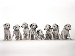 dalmatian dog group hd wallpapers beautiful desktop background images widescreen