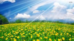 Sunshine Over Dandelion Field HD Desktop wallpaper, images and photos