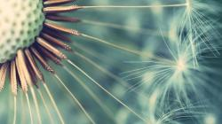 Stunning Dandelion Wallpaper 21990 1920x1080 px