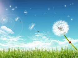 ... Dandelion Wallpaper; Dandelion Wallpaper