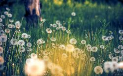 Dandelion Wallpaper