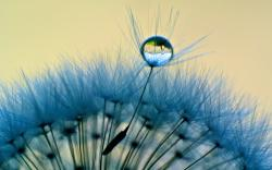 awesome wallpapers of dandelion flower water drop