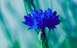 ... Dark Blue Flowers ...