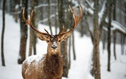 Deer Snow Winter Forest