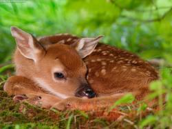 Fawn - deer Photo