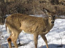 White-tailed deer in Toronto, Canada