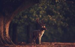 Deer Animal Nature Forest