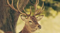 Animal Deer Wallpaper Laptop Backgrounds