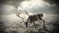 HD Wallpaper   Background ID:243889. 1920x1080 Animal Deer