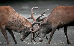 Deers Duel
