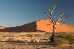 The Camel Thorn Tree (Acacia erioloba) in the Namib Desert is nearly leafless in dry periods.