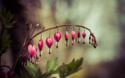 Dicentra Bleeding-Heart Flower Nature