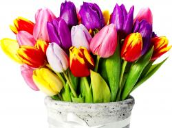 Tulips With Different Colors HD wallpapers