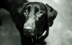 Dog Black Labrador Retriever Look