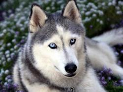 Blue eyes dog flower wolf 1024x768