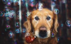 Dog Bubbles Look Wallpaper 44121 1680x1050 px