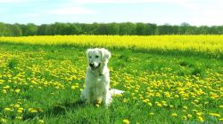 You can find Dog Dandelion Field Summer Scenes wallpapers in many resolution such as 1024×768, 1280×1024, 1366×768, ...