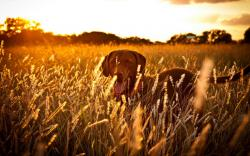 Dog Field Sunset