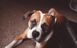 Dog Friend Look Boxer
