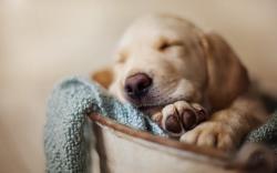 Dog Pet Sleeping