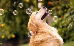 Dog Retriever Bubbles