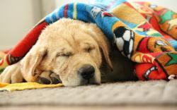 Cute Dog Labrador Retriever Photo