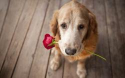 Dog Rose Love