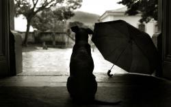 Dog Waiting Rain