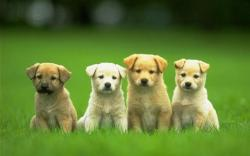 Four Cute Puppy Dog Wallpaper HD 80618 for Walls and Border