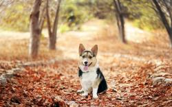 Dog Welsh Corgi Fallen Leaves Autumn