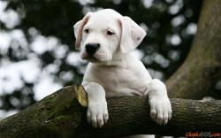Dogo Argentino puppy on a tree.