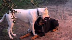 Dogo argentino vs rottwailer